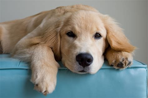 hotspots on golden retrievers remedies for puppy spots