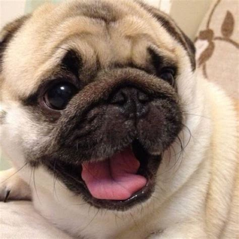 why are pugs called pugs pugs thinglink
