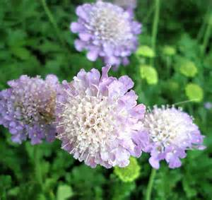 scabiosa plants how to grow a pincushion flower