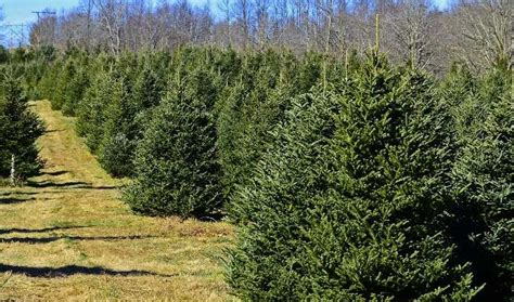 milton tree farm where to cut your own tree in central west