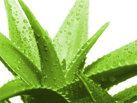 Aloevera The Herb by Buying And Planting Aloe Vera Your Kefir Source