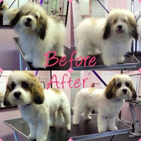 cavachon grooming styles cavachon grooming cuts pictures cut styles for cavachon
