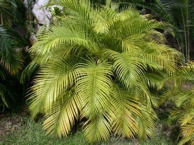 encyclopedia of cultivated palms dypsis