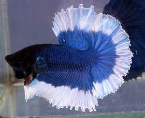 Siamese Fighting Fish ( Betta splendens )