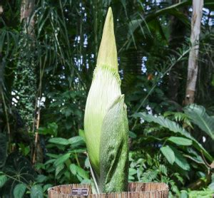 Corpse Flower Blooms At New York Botanical Garden Corpse Flower Botanical Garden