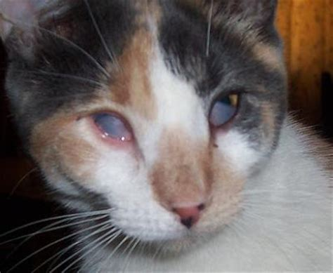 third eyelid cat meow common ailments page 1 health care