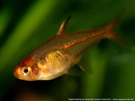 micro poisson d aquarium liste des petits poissons