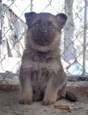 german shepherd puppies ma german shepherd puppies for sale plymouth middleboro mass