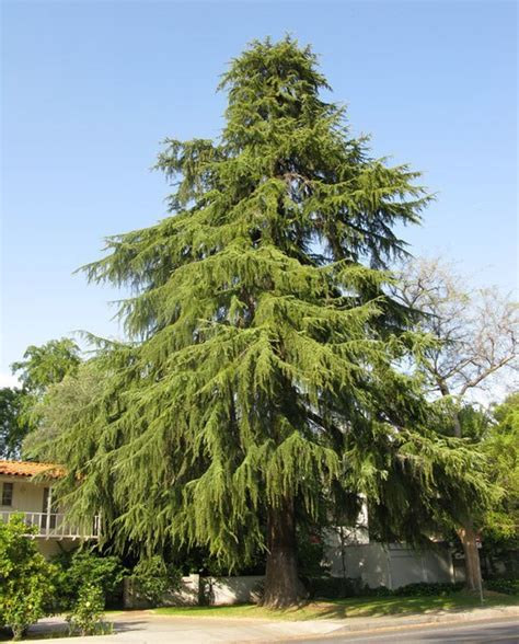 cedar trees cedar deodar for sale the tree center
