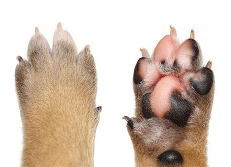 puppy paw dogs swollen paws swollen paws in dogs treatments petmd