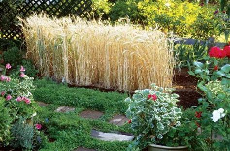 backyard wheat growing grain in backyard 2017 2018 best cars reviews