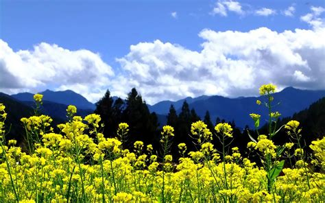 wallpaper awan terindah gunung awan pemandangan pohon alam bunga langit kuning