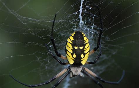 Garden Spider Ky Black And Yellow Garden Spider