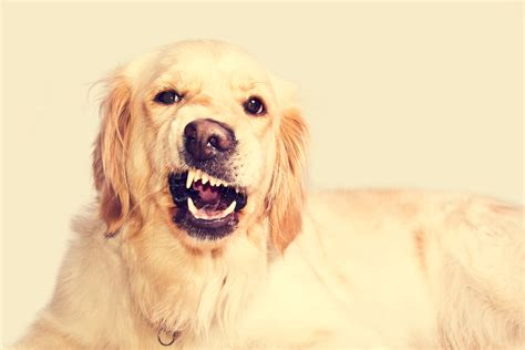 how is a puppy the trainer how to prevent aggression in your new or puppy and