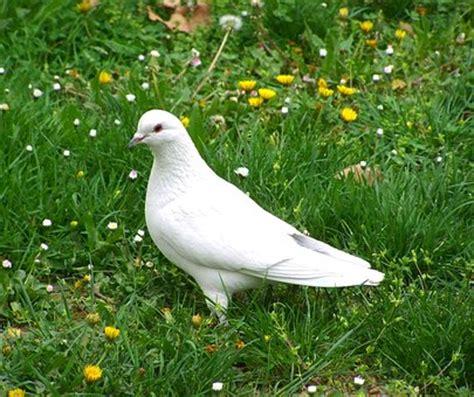 imagenes de palomas blancas gratis paloma blanca im 225 genes 183 pixabay 183 descarga im 225 genes gratis