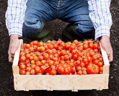 wann tomaten ernten tomaten 187 wann ist saison