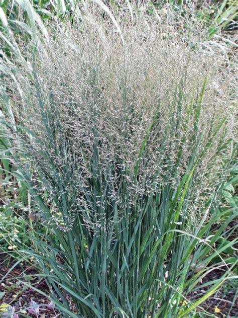 types of ornamental grasses hgtv