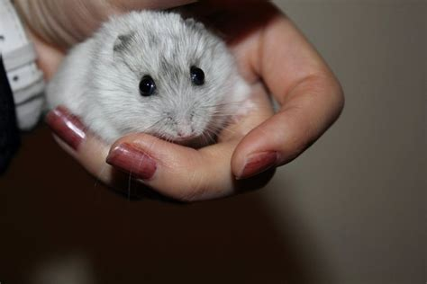 Pics Of Baby Hamsters   www.imgkid.com   The Image Kid Has It!