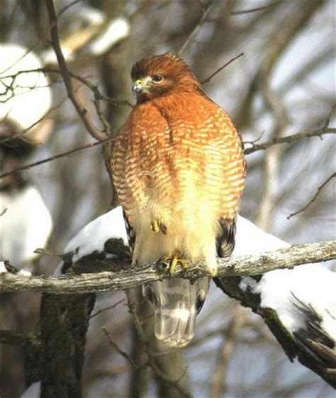 ohio birds of prey from eagles to owls falcons to hawks
