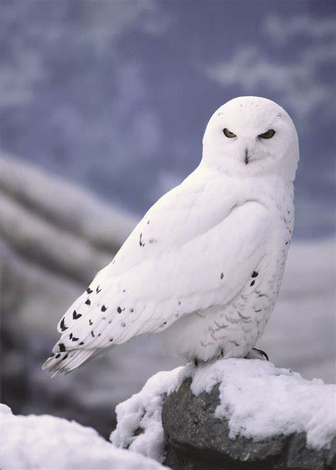snowy owl facts for kids kids matttroy