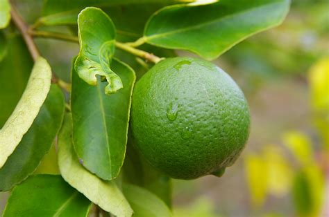 Can I Use Lime Instead Of Lemon For Detox by Limes Kitchen Basics Harvest To Table