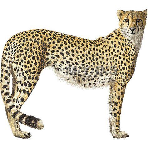 cheetah clipart best cheetah clipart 15028 clipartion