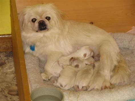 pekingese puppies for free pekingese puppies for sale