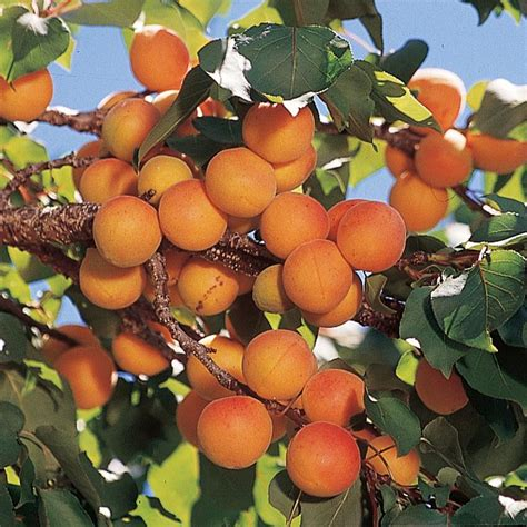 Wholesale Fruit Trees - early golden apricot apricot trees stark bro s