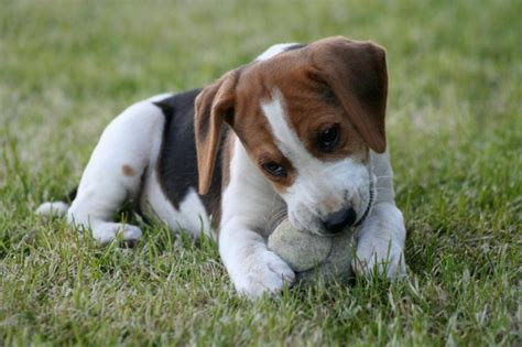 how much do puppies sleep at 12 weeks beagle puppy pictures slideshow