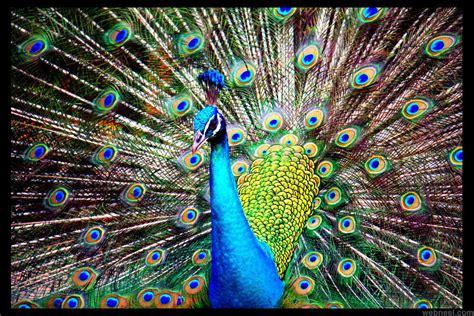 beautiful peacock photo  redrosepetals