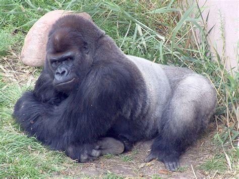 Eastern Lowland Gorilla Habitat