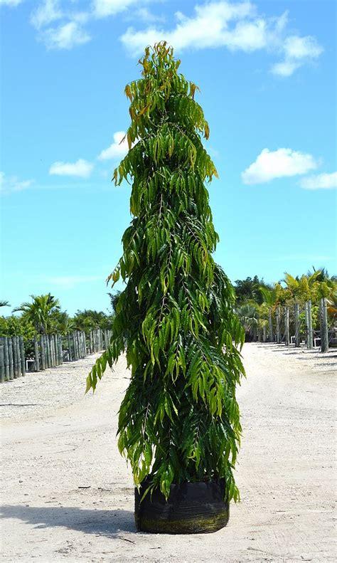 Bibit Glodokan Tiang jual bibit pohon glodokan di barito utara jual bibit