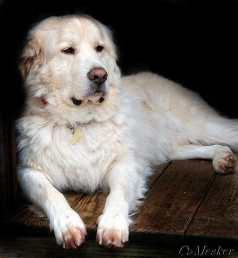 great pyrenees golden retriever puppies great pyrenees golden retriever mix puppies myideasbedroom