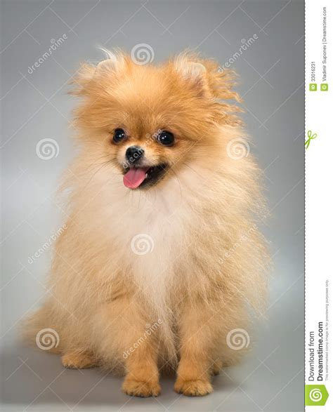 chien pomeranian spitz chien de pomeranian dans le studio image stock image 33016231