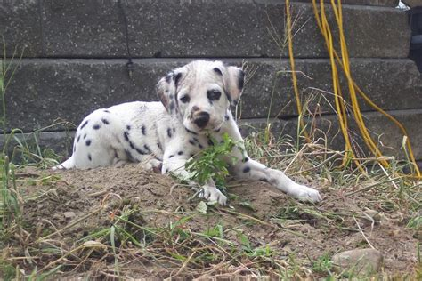 how much do dalmatian puppies cost dalmatian puppy in dirt jpg 1 comment hi res 720p hd
