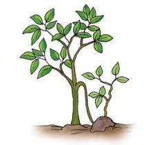 contoh perkembangbiakan vegetatif buatan