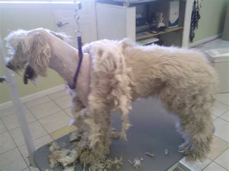 Goldendoodle Haircut Ideas Newhairstylesformen2014