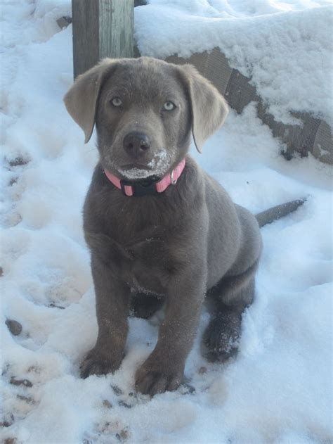 silver lab puppies for sale in louisiana 17 best images about labs silver labrador silver lab puppies silver labs and silver