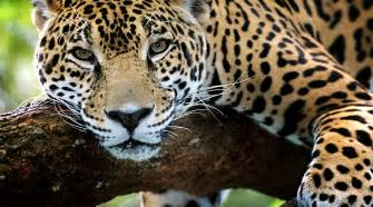 We Are Jaguars The Meaning And Symbolism Of The Word 171 Jaguar 187