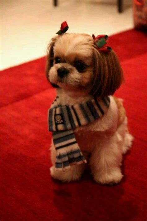 should you shave a shih poo beard or leave it long 133 best shih poo s shih tzu s and teddy bear dogs