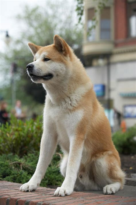hachi the hachiko a s story channel24