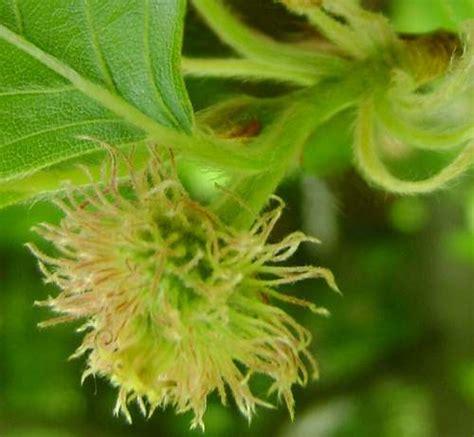 fiori di bach beech fagus sylvatica beech fiore di bach cosa 232 e a cosa