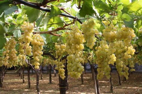 barbatelle uva da tavola 19 176 congresso uva da tavola targa bacca d oro ai vivai