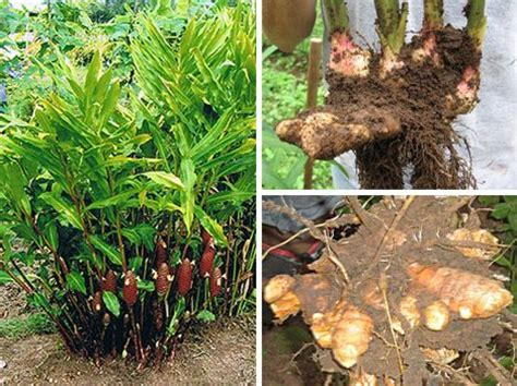 Tanaman Bangle Pot Pohon Bangle Dan Pot plant roots this is another one that i would like