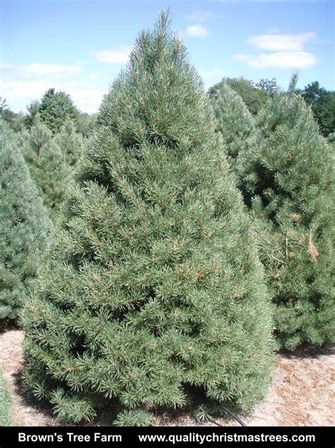 scotch pine trees wholesale trees