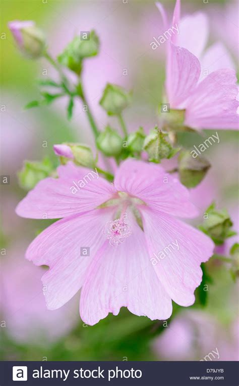 delicate pale pink flowers of kashmir mallow lavatera cachemiriana stock photo royalty free