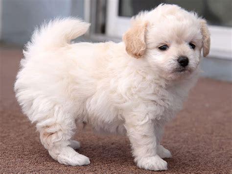 chipoo puppy chi poo chipoo