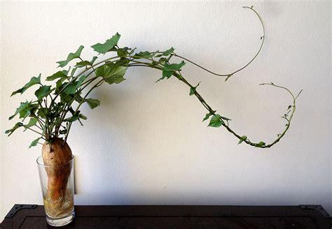 climbing vines indoors tips for growing common indoor sweet potato crazy vine eco organic garden by ocp