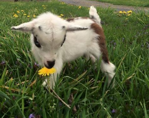can you house train a goat best 25 miniature goats ideas on pinterest baby farm animals baby sheep and pygmy