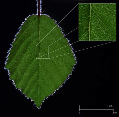 pattern formation leaf wiki leaf upcscavenger